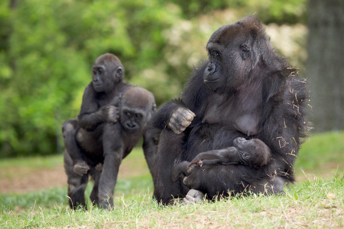 gorilla_130424_lulu_andi_henry_merry_ZA_8752
