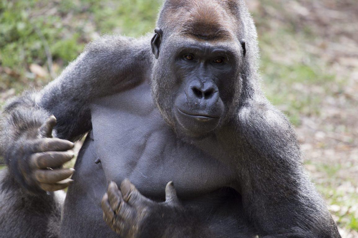 gorilla_charlie_ZA_7018