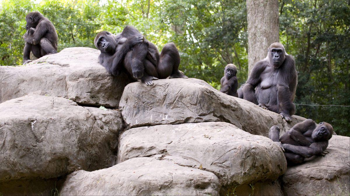gorilla_family_za_2472a-e1470672703778?w=1200, Muscles