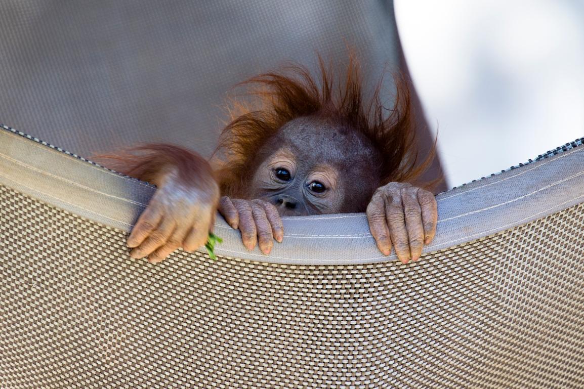 orangutan_140331_pongo_ZA_0522