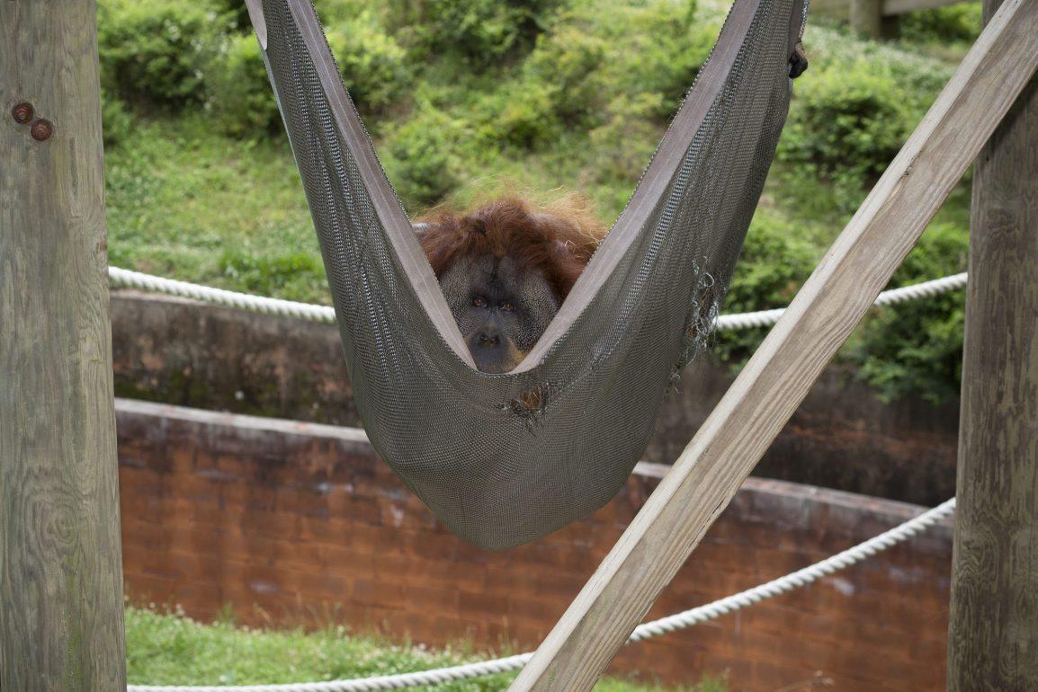 orangutan_allen_hammock_ZA_4820
