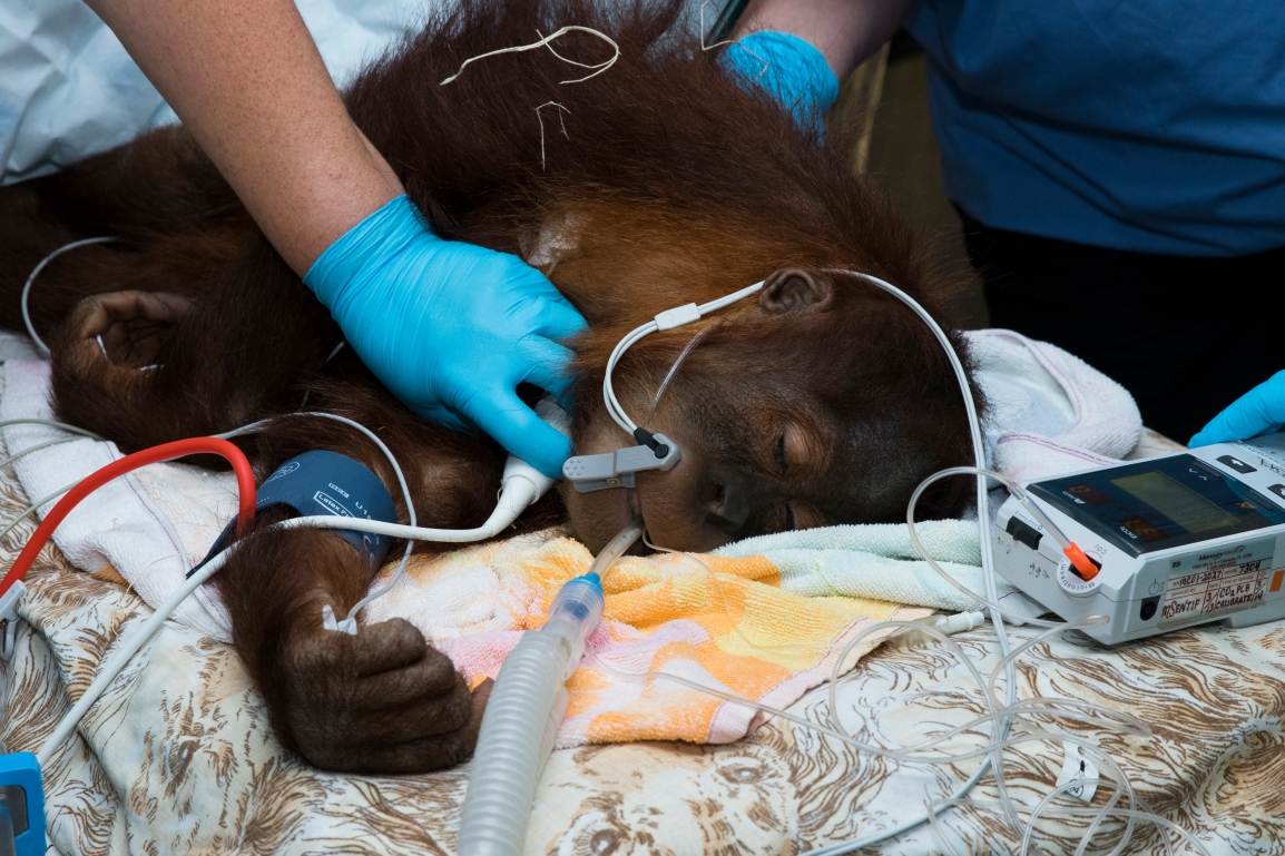 orangutan_procedure_remy_150429_ZA_2842